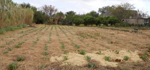 Conservation Agriculture works with the soils natural cycle and uses every organic 'waste' to nourish both soil and crop. Image by Hannington Sibanda
