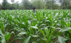Mrs Chinyange surveys her crop in Rutenga, Zimbabwe. The mulch grass kept the soil moist enough to harvest despite the severe dry spell that season.